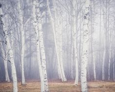 trees (Maine landscape photography print of birch trees in fog by Allison Trentelman, rockytopstudio.com)
