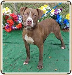 Marietta, GA - American Pit Bull Terrier Mix. Meet SPEEDY, a dog for adoption. http://www.adoptapet.com/pet/12629220-marietta-georgia-american-pit-bull-terrier-mix