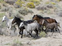 TAKE ACTION FOR OUR NATION'S WILD HORSES!   Please Sign!  Tell the BLM to Leave Wild Horses Alone in Northern California!  The Bureau of Land Management (BLM) is planning yet another brutal round up to remove 85% of the wild horses and burros in the Twin Peaks and Buckhorn Herd Management Areas (HMAs).  These round ups often cause horrific injuries to the horses and sometimes heinous deaths.    http://org2.democracyinaction.org/o/6931/p/dia/action/public/?action_KEY=12353