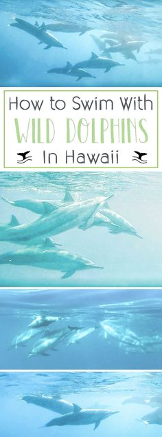 How to Swim with Wild Dolphins on Hawaii's Big Island. Where to find & snorkel with dolphins on Hawaii Island + tips and tricks for a successful adventure. Honeymoon Vacations, Hawaii Honeymoon, Hawaii Vacation, Hawaii Travel, Travel Usa, Travel Tips, Travel Ideas, Travel Inspiration, Travel Destinations