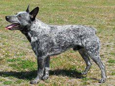 Australian Stumpy Tail Cattle Dog 16
