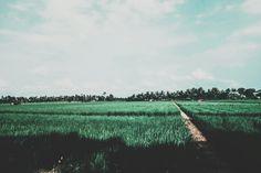 Paddy field @tugumulyo merasi