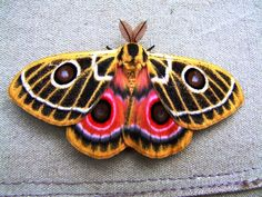 beautiful moths | Beautiful moth rests on a canvas tent .