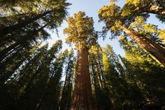 Standing Tall - This image is unable to do proper justice to the enormous size of this amazing tree located in the Sequoia National Park. The General Sherman stands 21 stories tall and has a 36.5 ft. diameter at it's base.