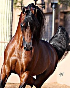It's an Bay Arabian and I need this horse!