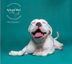 01/24/16 - Houston Street Dogs October 14 · Marshmallow is a super sweet and cuddly 4 year old pit bull male. He does well with submissive dogs and loves to cuddle. Fully housetrained, he's a great addition to any home.
