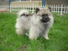 Found a Keeshond breeder in Pecatonica... I hope to have one very soon! So much cuteness!