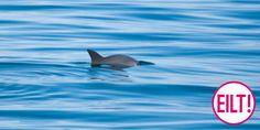 Helfen Sie mit, die letzten kalifornischen Schweinswale zu retten. Wenn wir…