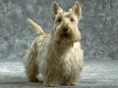 scottish terrier pictures