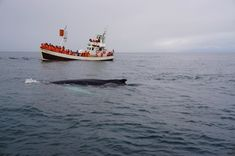 Whale watching in Húsavík, Northern Iceland Fire And Ice, Whale Watching, Iceland, Boat, Backpacks, Fall, Travel, Animals, Ice Land