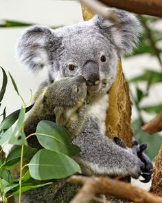 Squee Spree: Baby Koala Loves Mama - Squee daily at these cute animals and the absolute cutest animal pics and gifs ever known to man. Baby Zoo Animals, Animals And Pets, Funny Animals, Cute Animals, Baby Giraffes, Wild Animals, Australian Animals, Tier Fotos, Cute Creatures