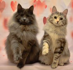 We are happy to announce we have a beautiful litter born from pedigree parents. They are long haired Kurilian bobtail cats. Bobtail Cat, Cattery, Kittens, Cats, Portsmouth, Hampshire, Husband, Animals, Cute Kittens