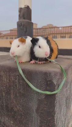 Guinea Pig Small pet Little Daisy Mouse Lap Pad Hedgehog Hamster Rat