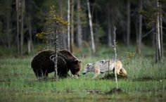 A photographer captured photos of the rare friendship for ten successive nights. Finnish photographer Lassi Rautiainen witnessed a rare friendship between a female grey wolf and male brown bear that spent nights together enjoying dinner. Rare Pictures, Animal Pictures, Beautiful Creatures, Animals Beautiful, Unlikely Friends, Rare Animals, Mundo Animal, Bored Panda, Cutest Animals