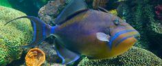Triggerfish gibi bazı balık türleri geri geri yüzebilmektedir.