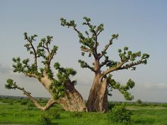 Baobab Tree in Kissane, (near Thies) Senegal - 2006 by Pascal Baobab, via Flickr
