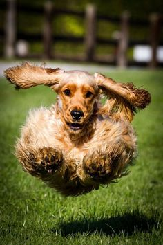 """Discover even more information on """"spaniel puppies"""". Browse through our web site. American Cocker Spaniel, Cocker Spaniel Puppies, English Cocker Spaniel, Cute Puppies, Cute Dogs, Dogs And Puppies, Doggies, Hyper Dog, Cockerspaniel"""