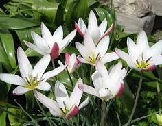 Image result for species tulips images