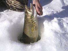 A laker (lake trout) emerges from a northern lake.
