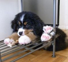 when puppies, bernese mountain dogs get into every nook. such cuties! Cute Dogs And Puppies, Baby Dogs, I Love Dogs, Pet Dogs, Dog Cat, Doggies, Cute Baby Animals, Animals And Pets, Funny Animals