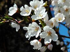 Prunus_serrulata_2005_spring_018.jpg (2000×1500)