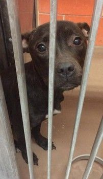 Please help 10 month old Viola!!! Sweet, sad puppy in need of rescue at CACC in Chicago!!