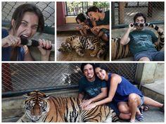 Dica da Dri: Tigres em Chiang Mai, na Tailandia // Tigers in Chiang Mai, in Thailand. #thailand #chiangmai #tiger #tigre #animal #nationalgeographic #fotografia #photography