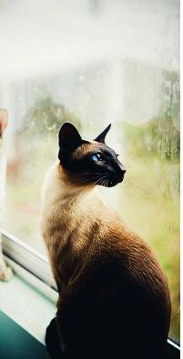"""""""I looked for my soul but my soul I could not see. I looked for my God, but my God eluded me. I looked for a friend and then I found all three."""" --William Blake - Tap the link now to see all of our cool cat collections! Siamese Cats, Cats And Kittens, Bengal Cats, Oriental Cat, Cat Pose, Photo Chat, Cat Drawing, Art Design, Baby Cats"""