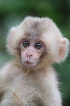 Happy New Life by Masashi Mochida - Photo 223900839 / Cute Baby Monkey, Pet Monkey, Cute Baby Animals, Animals And Pets, Funny Animals, Funny Animal Photos, Funny Animal Videos, Animal Pictures, Primates