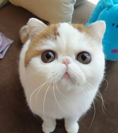 Snoopy The Cat (exotic shorthair cat) OMG Cute Kittens, Little Kittens, Cats And Kittens, Fluffy Kittens, Animals And Pets, Funny Animals, Cute Animals, Gato Bobtail, Gato Grumpy