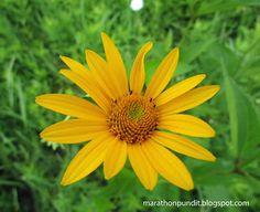 (Photo) False sunflower - http://marathonpundit.blogspot.com/2015/06/photo-false-sunflower.html