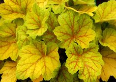 Heuchera 'Electra' is a shocker, with bright golden leaves veined in red. The veins stay red through the season, while the leaves come on yellow in spring, morph to chartreuse in summer and fall, then tan over the winter.