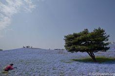 Hitachi Seaside Park et ses fleurs bleues par millions Ibaraki, Hitachi Seaside Park, Great Places, Mountains, Beach, Water, Travel, Outdoor, Beautiful