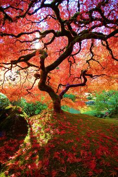 Red Tree - Famous maple Autumn 2008 - By Judy & Paul