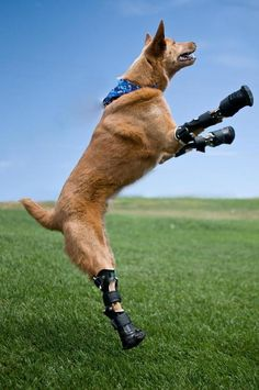 The stray puppy was discovered with all four paws and his tail frozen into a puddle during the winter. As a result of the frostbite the dog had to have his paws and part of his tail amputated. This did not effect the good-natured doggy's sweetness! Instead, Naki'o received four prosthetic paws that gave him a new lease on life!
