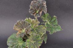 Begonia 'La Cresta'