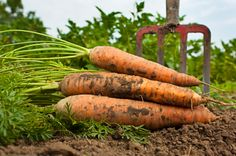 Soak carrots seeds overnight to speed germination.  Carrots make a great fall crop. Sow seeds 10-12 wks before the first expected frost. @ July or August. Carrots need full sun. Carrots do best in sandy, well-drained soil. Thin as they grow. Mulch every few weeks with compost. Carrots rarely need water, but too much moisture can be a problem. Keep soil well-drained to prevent most diseases.  If you mulch your plants, fertilizers are generally unnecessary.