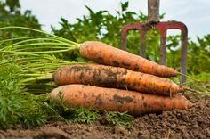 carrotgarden, grow carrots, fall, carrot garden
