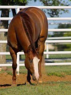 Cool Gun Kitty; 2011 red dun American Quarter Horse mare (Colonels Smoking Gun x This Chics Overdrawn)