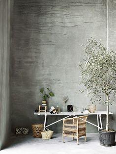 Indoor Olive Trees   Olivos para el interior   casahaus.net