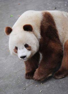 A very rare BROWN fur Panda!