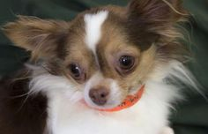 Species	Dog  Breed	Chihuahua, Long Coat/Purebred  Age	2 years 9 days  Sex	Male  Size	Small  Color	Tan/White  No Small Kids	  Site	National Mill Dog Rescue  Location	Kennel  Intake Date	2/4/2015  Adoption Price	$250.00