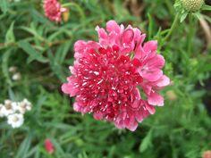 Scabious 'Chile Pepper' (Scabiosa atropurpurea (Pincushion flower))