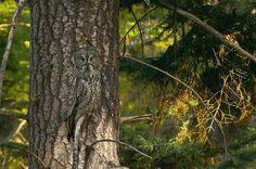 Il maestro del camouflage: provate a trovare il gufo