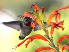 Feeding Hummingbird Get Wallpaper A hummingbird rubs pollen over his head. - Bird Wallpapers - National Geographic