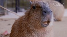 New trending GIF on Giphy. cute animal adorable vice capybara fuzzy. Follow Me CooliPhone6Case on Twitter Facebook Google Instagram LinkedIn Blogger Tumblr Youtube