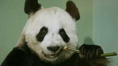 Panda May Have Faked Pregnancy For Buns
