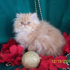 Grooming a persian cat for show