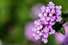 写真 ランタナ 紫色は珍しいのかな? 2013秋