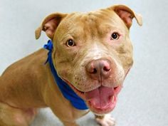 TO BE DESTROYED 5/4/14 Manhattan Center   My name is NABOO. My Animal ID # is A0998176. I am a male buff and white pit bull mix. The shelter thinks I am about 1 YEAR 7 MONTHS old.  I came in the shelter as a STRAY on 04/29/2014 from NY 10029, owner surrender reason stated was ABANDON.  https://www.facebook.com/photo.php?fbid=796277057051842&set=a.611290788883804.1073741851.152876678058553&type=3&theater